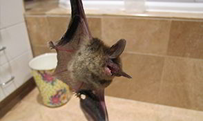 Gladwyne, Pennsylvania Bat Removal