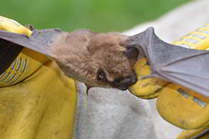 Bats are high risk for rabies