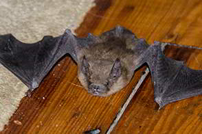 Bat inside the home