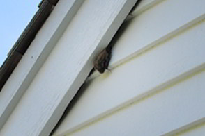 Bat hanging behind the fascia board