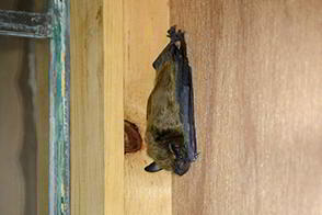 Emergency Bat Removal - Bat in House - Bat Control