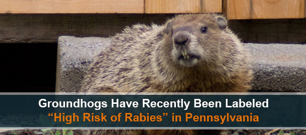 Groundhog Rabies Near Dresher, PA, 19025