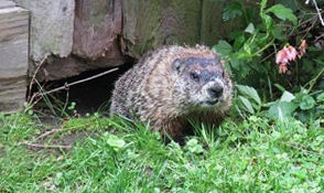 Groundhog Under Shed - Lafayette Hill, PA