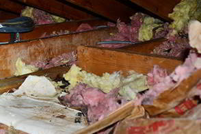 Raccoon Damage in Attic - Raccoon Feces