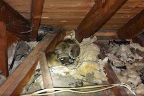 Montgomery Wildlife Removal Animal Control Near & Attic Baby - Natashamillerweb