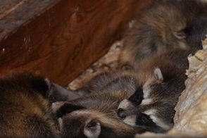 Raccoons Living in the Attic