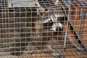 Montgomery County PA - Raccoon Trapping - Raccoon Trapper