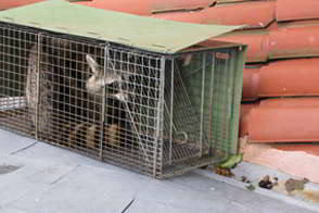 Raccoon on Roof - Trapping and Removal