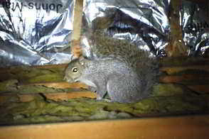 Squirrels in Attic - Squirrel Removal