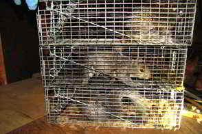 Montgomery County PA - Squirrel Trapping